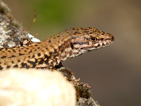 viviparous lizard: Common Lizard looking at the camera