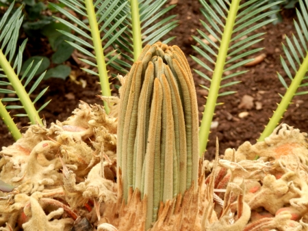 cycadaceae: Close up of the new fronds emerging from the crown of the Lebombo Cycad aka Encephalartos senticosus Stock Photo