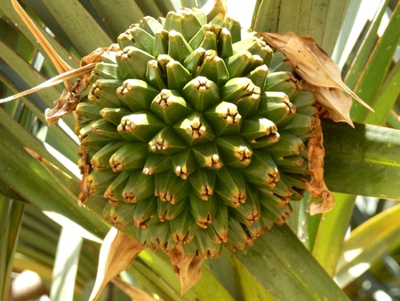 screwpine: Large globular fruit of the Screwpine Tree aka Pandanus Utilis Bory