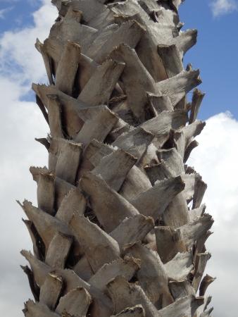latticework: Latticework trunk of a Shaggy Palm Tree Stock Photo