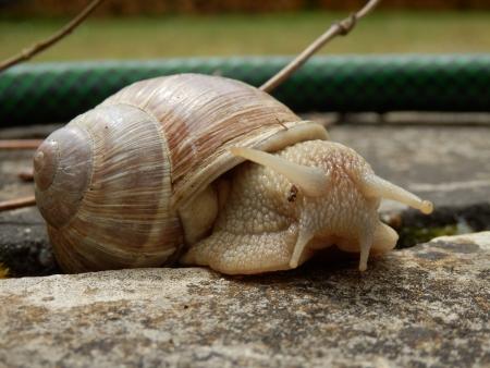 slithering: close up Roman Snail slithering along a patio