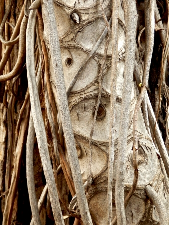 aerial roots: Leaf scars and aerial roots of the Tree Philodendron  Philodendron bipinnatifidum Schott