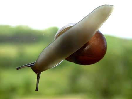 slithering: Snail slithering across a window, countryside in the background Stock Photo