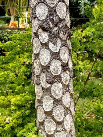 silver fern: Trunk of a Silver Fern Tree (Cyathea dealbata) covered in leaf scars