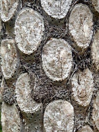 silver fern: Close up of the leaf scars on a Silver Fern Tree (Cyathea dealbata)