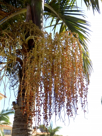 dactylifera: Bunch of dates hanging from a Date Palm Tree (Phoenix dactylifera) Stock Photo