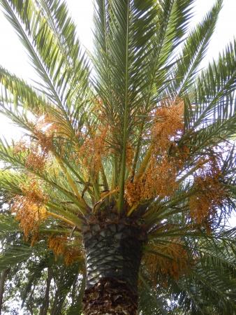 dactylifera: Crown of a Date Palm Tree (Phoenix dactylifera) full of dates