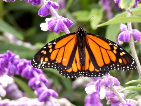 danaus: Monarch Butterfly (Danaus Plexippus) feeding on a Mexican Sage Bush