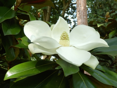 magnolia flower: Magnolia Grandiflora aka Bullbay or Southern Magnolia, with fully developed fruit