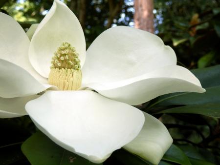 Magnolia Grandiflora aka Bullbay or Southern Magnolia, with fully developed fruit photo