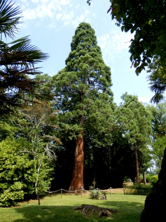 Young Sequoia Tree growing in  Les Jardins Panoramiques de Limeuil  in the Dordogne, France photo