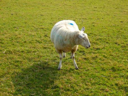 ewe: Pregnant ewe panting in a pasture