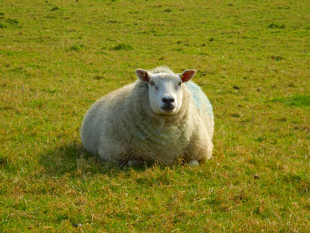 ewe: Pregnant ewe laying down in a pasture Stock Photo