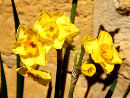 jonquil: Close up of jonquil flowers against a limestone wall Stock Photo