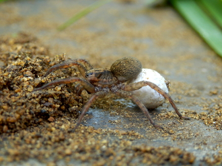 sac: Wolf Spider carrying an egg sac on her abdomen using her spinnerets Stock Photo