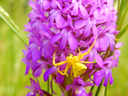 pyramidal: Yellow Crab Spider Misumena vatia also known as Goldenrod Crab Spider hunting for prey on a Pyramidal Orchid Anacamptis pyramidalis