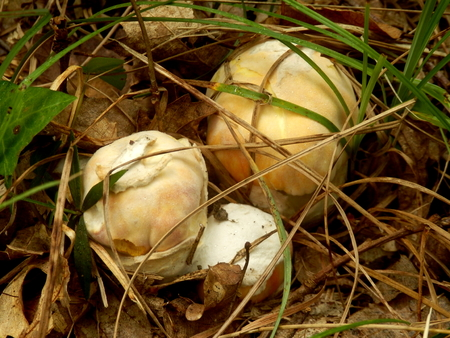 caesarea: Close up of three immature Amanita Caesarea Mushroom, aka Caesars Mushroom breaking through the ground. In France known as Roi de Champignons Stock Photo