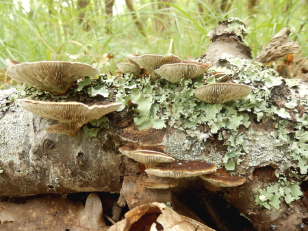 gill: Birch Mazegill Fungus aka Lenzites betulinus, showing the intricate maze like gill formation
