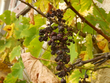 withering: Close up of a withering bunch of grapes on the vine Stock Photo