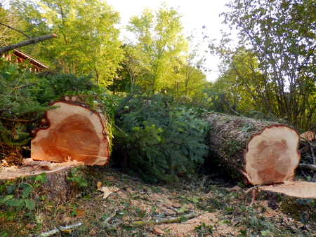 picea: Two large felled European Spruce Trees Picea abies