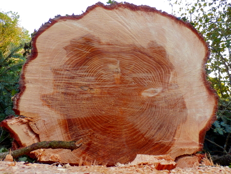picea: Cross section of the trunk of a large felled European Spruce Tree Picea abies showing the growth rings
