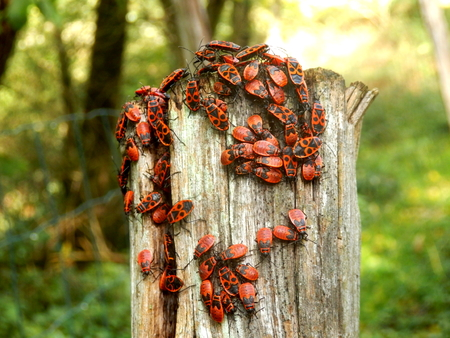 insecta: A group of Firebugs Pyrrhocoris apterus aka Gendarmes on a fence post