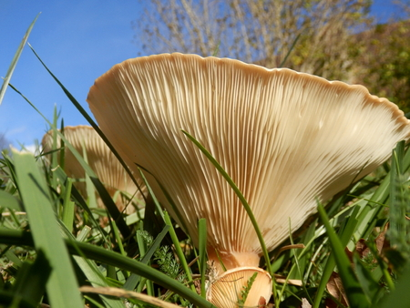 gills: Close up of the underside of a Clitocybe gibba mushroom, also known as the Common Funnel, showing the gills radiating from the stem