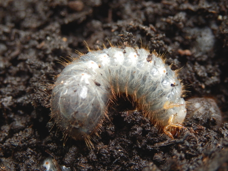 grub: Close up of a white grub burrowing into the soil. The larva of a chafer beetle, sometimes known as the May beetle, June bug or June Beetle. Stock Photo