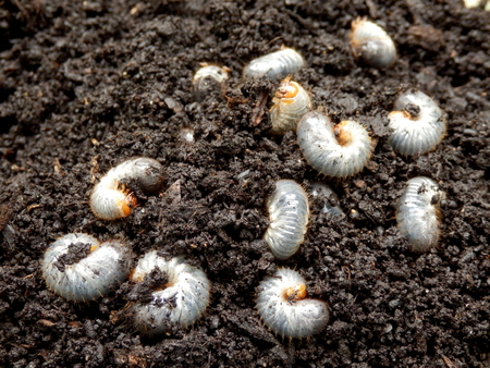 burrowing: Close up of white grubs burrowing into the soil. The larva of a chafer beetle, sometimes known as the May beetle, June bug or June Beetle. Stock Photo