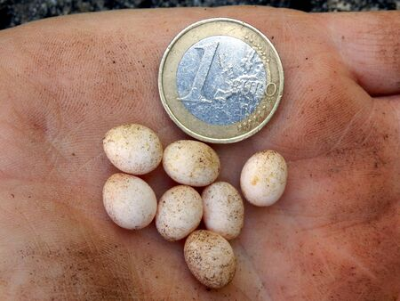 ovoid: Close up of snake eggs next to a 1 Euro coin to give an indication of size