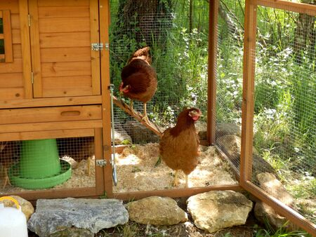 free range: Chickens leaving the coop to go free range Stock Photo