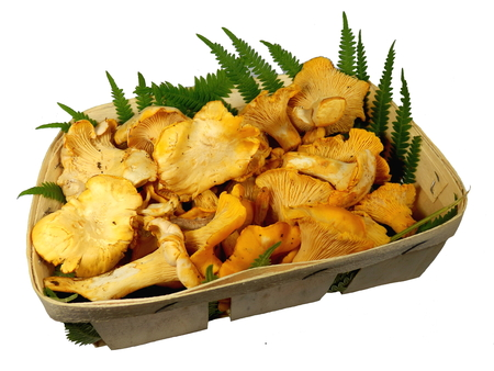 A basket of freshly picked Cantharellus cibarius, commonly known as the chanterelle, or girolle