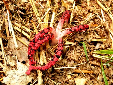 tentacle: Clathrus archeri also known as Octopus Stinkhorn and Devils Fingers because of the tentacle type appendages Stock Photo