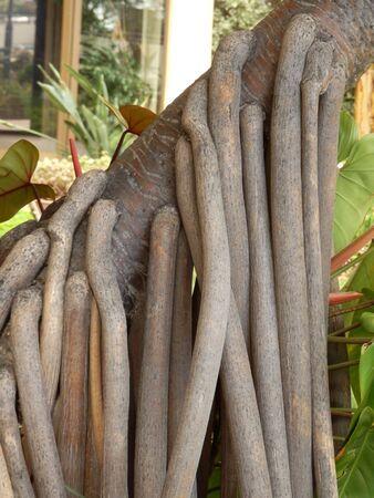 aerial roots: Aerial or prop roots of the Screwpine Tree aka Pandanus Utilis Bory Stock Photo