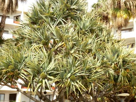 Screwpine aka Pandanus Utilis Bory bearing many fruits