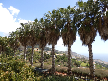 shaggy: Line of Shaggy Palm Trees overlooking Funchal, Madeira