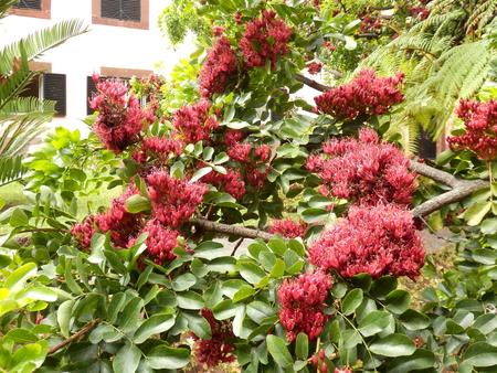 Crimson red flowers blooming on a Schotia Tree aka Tree Fuschia or Drunken Parrot Tree Stock Photo