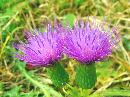 arvense: Close up of a Creeping Thistle, also known as a Field Thistle (Cirsium arvense),