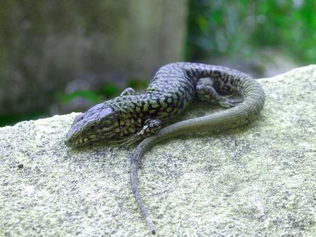 Common lizard (Zootoca vivipara) basking on a window cill