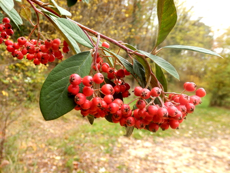 festooned: Cotoneaster lacteus (Parney Cotoneaster) festooned with clusters of vibrant red berries