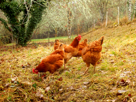 free range: Free range chickens scratching around looking for food