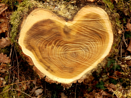 Close up of a cross section of an acacia tree, showing heart shaped growth