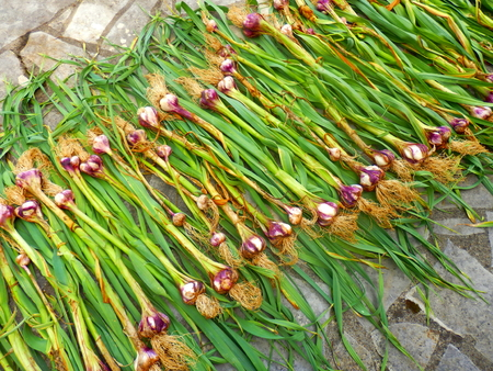 Newly lifted garlic plants drying in the sun