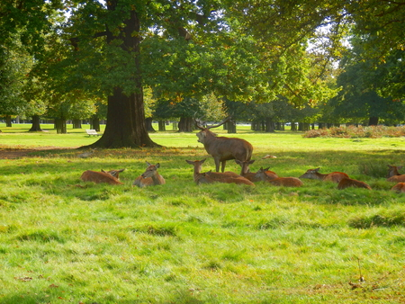 Red deer stag bellowing to ward off rivals and protect his hinds during the rutting season Stock Photo