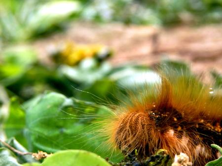Close up of the head of a Drinker Moth Caterpillar (Euthrix potatoria)