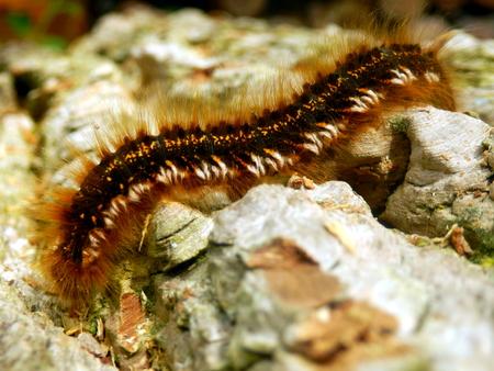 Close up of a Drinker Moth Caterpillar (Euthrix potatoria)