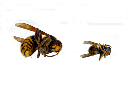 Close up of the deadly Asian hornet (Vespa velutina), alongside a wasp to give a comparison of size