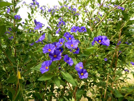 A vibrant display of Sisyrinchium angustifolium flowers Reklamní fotografie