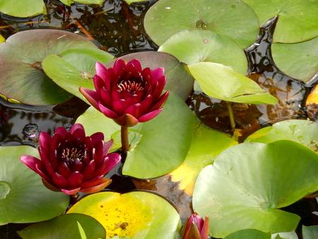 Close up of a Water Lily - variety Black Princess