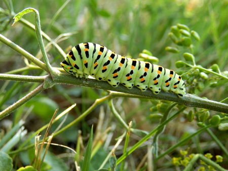 Close up of a caterpillar of the Swallowtail Butterfly (Papilio machaon) feeding on a wild parsnip plant